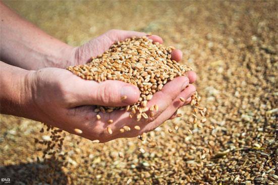 О причинах снижения урожая в этом году