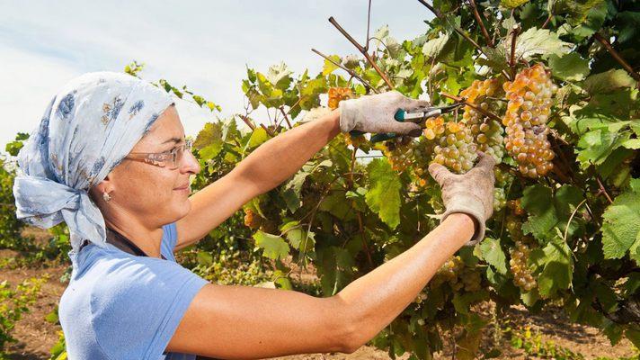 сбор винограда